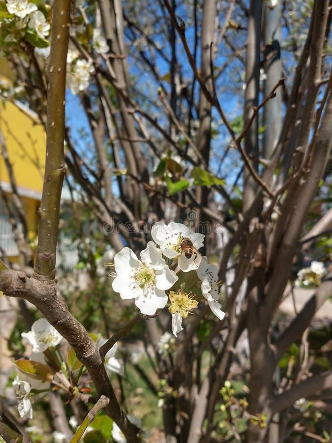 Пчела на белом цветке стоковые изображения rf