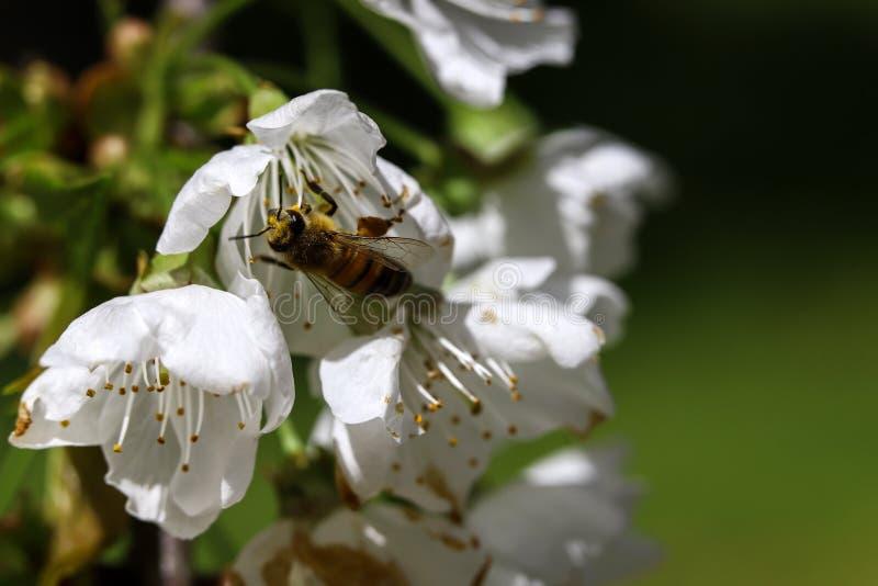 Пчела на вишневом цвете стоковые фото