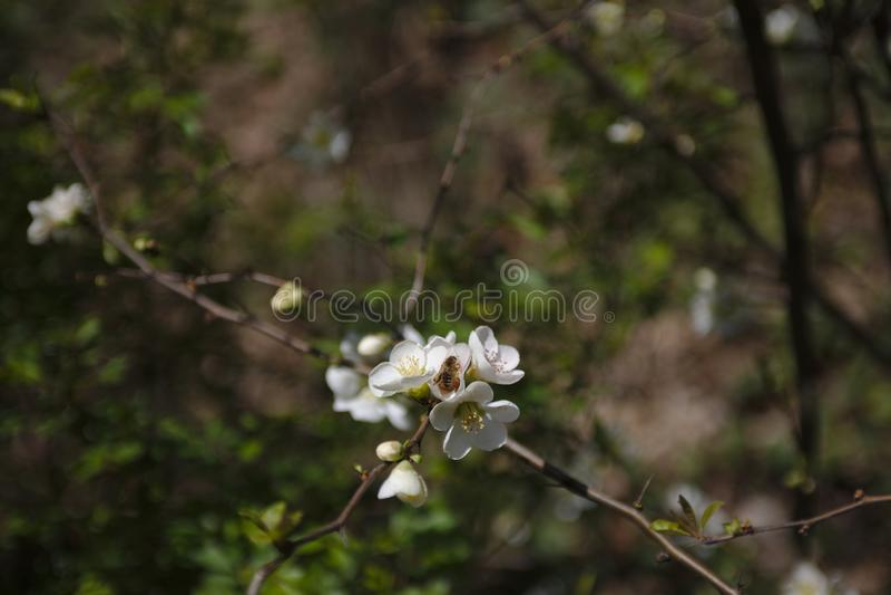 Пчела на вишневых цветах стоковое фото rf