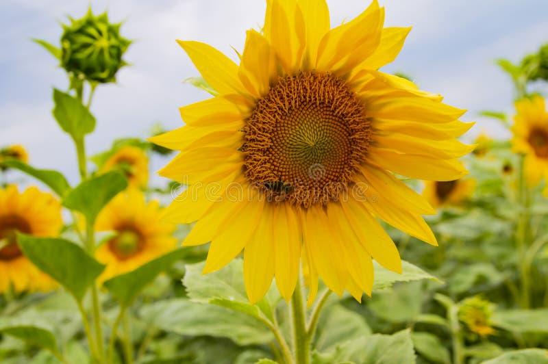 Пчела на желтом цветке солнцецвета стоковые фото