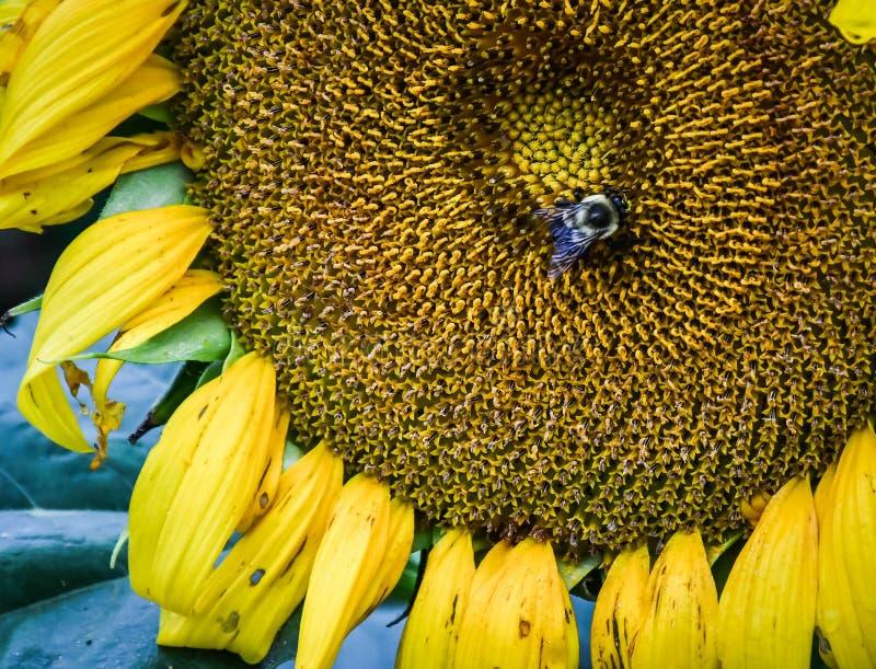 Пчела на зацветая солнцецвете, яшме, Georgia, США стоковое изображение