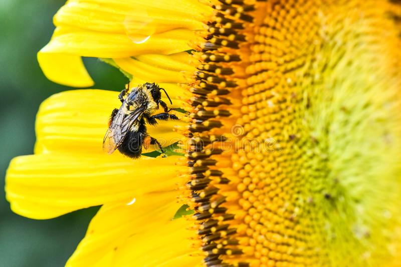 Пчела на зацветая солнцецвете, яшме, Georgia, США стоковая фотография