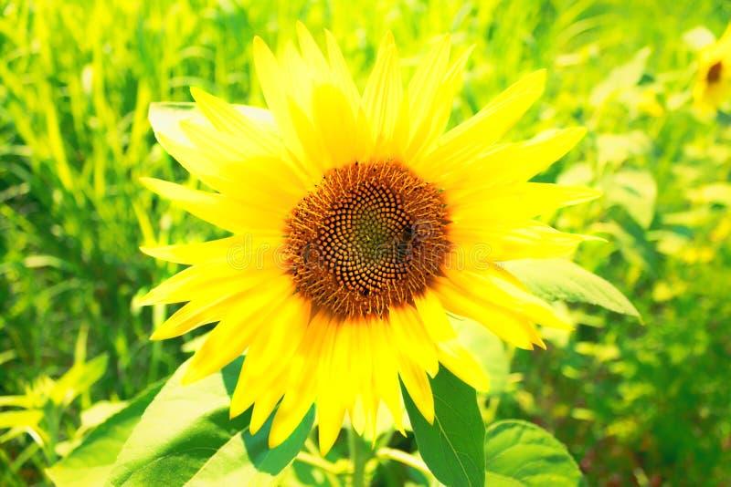Пчела на конце солнцецвета вверх стоковые изображения