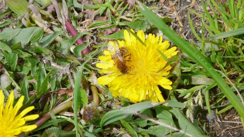 Пчела на одуванчике 1 стоковое фото