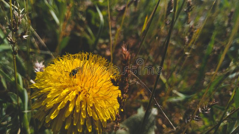Пчела на одуванчике стоковые изображения rf