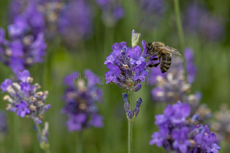 Пчела на работе на цветках лаванды стоковые изображения
