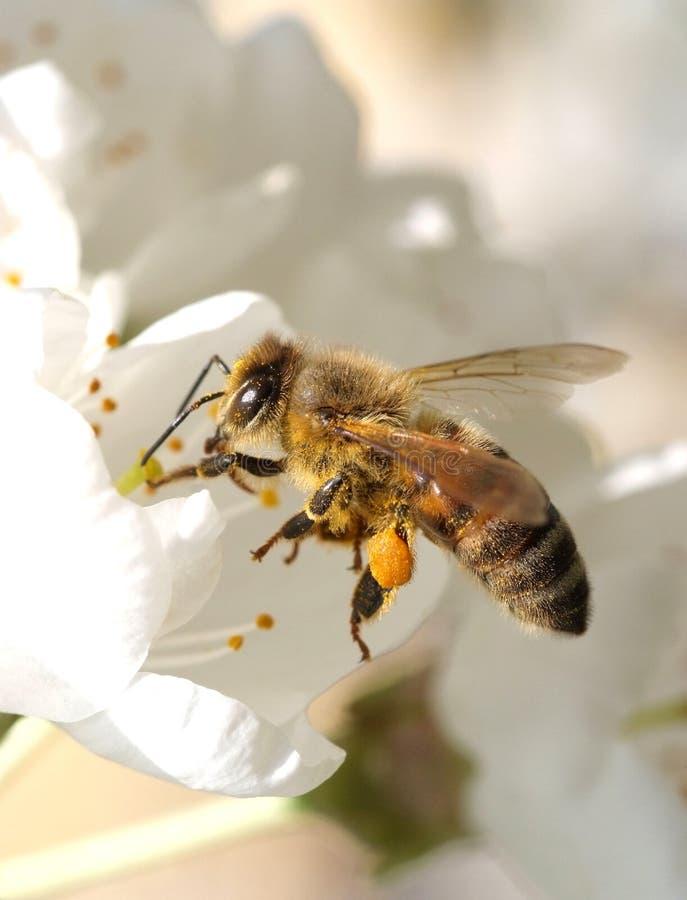 Пчела на работе стоковое фото