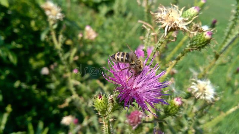 Пчела на розовом полевом цветке стоковая фотография rf
