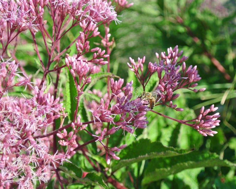 Пчела на розовом цветке в лете стоковые изображения rf