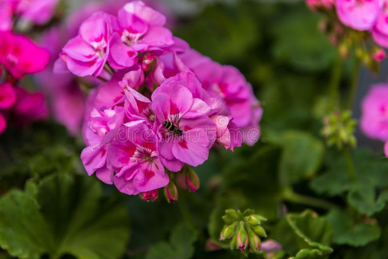Пчела на розовом цветке стоковые фотографии rf