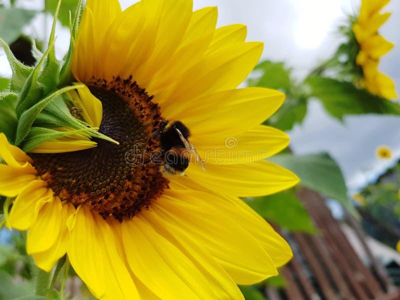 Пчела на солнцецвете в саде стоковое изображение rf