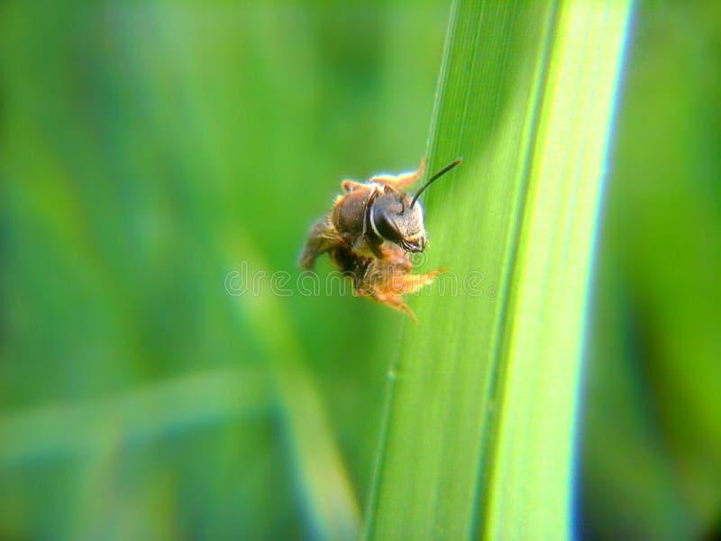 Пчела на траве стоковая фотография rf