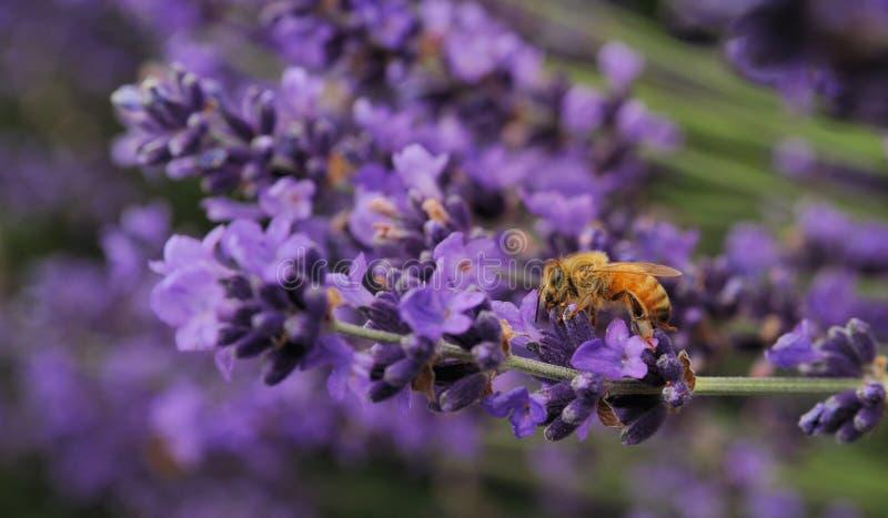 Пчела на цветках лаванды стоковое изображение