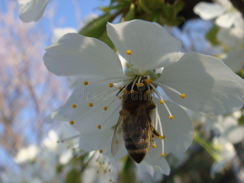 Пчела на цветке белых вишневых цветов стоковое изображение