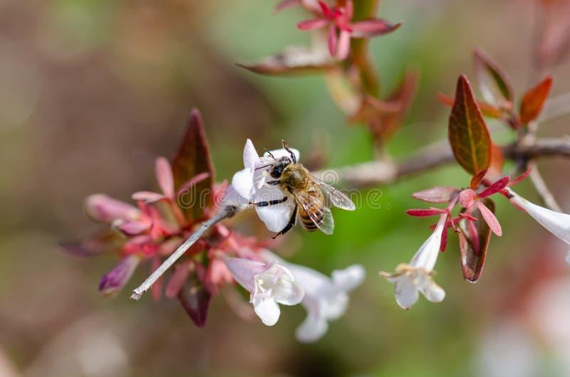 Пчела на цветке колокола стоковая фотография rf