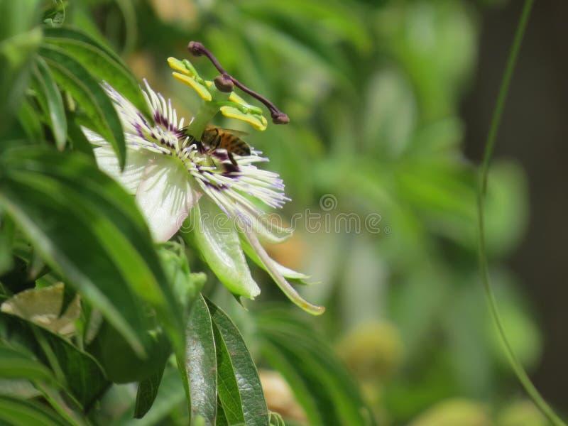 Пчела на цветке страсти стоковое фото