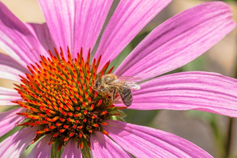 Пчела на цветке aka Coneflower purpurea эхинацеи стоковые фотографии rf