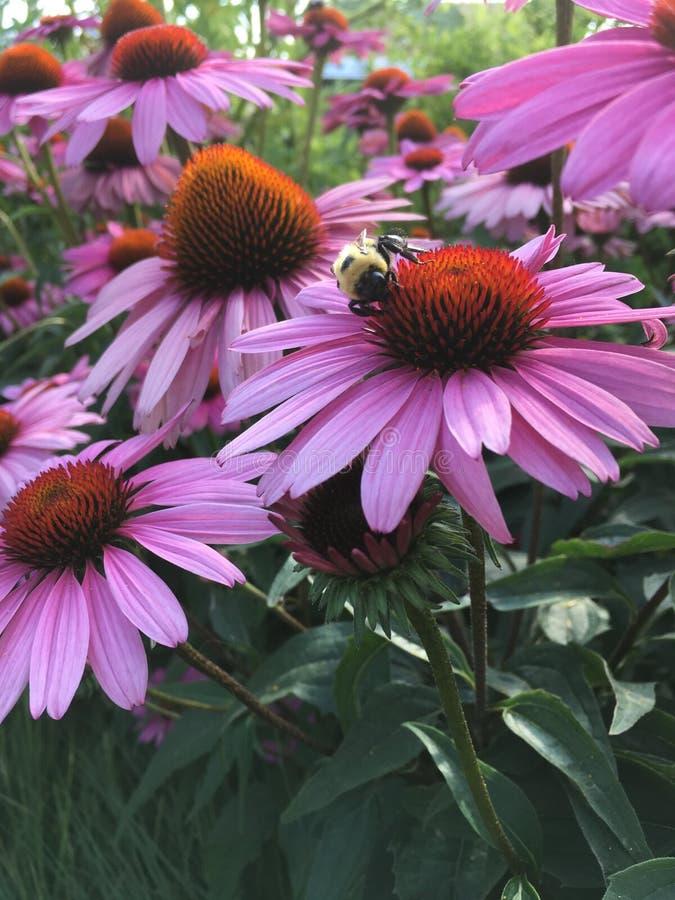Пчела на эхинацее стоковое изображение