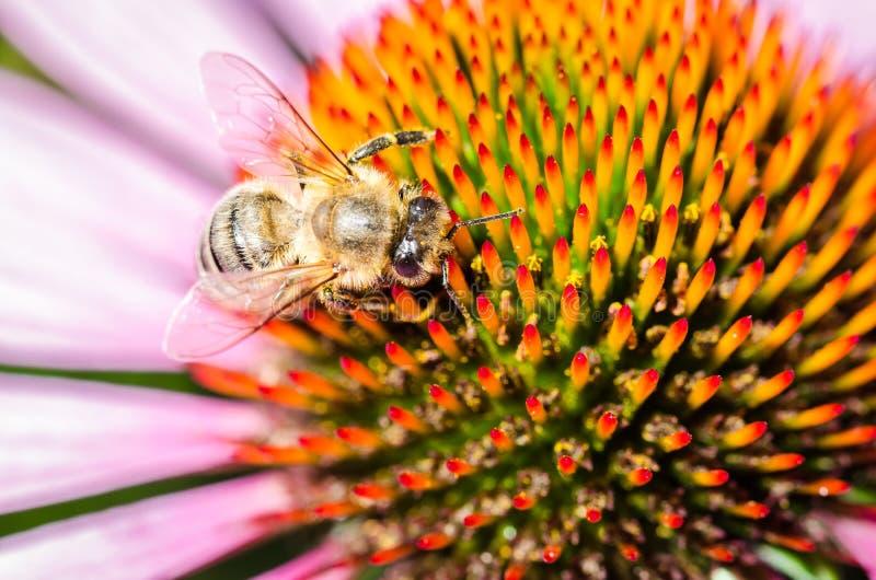 пчела на purpurea /bee эхинацеи опыляет красочный цветок, взгляд сверху стоковые фотографии rf