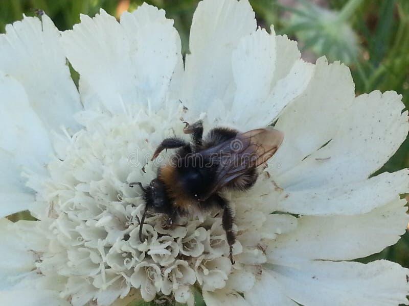 Пчела на scabiosa стоковые фото