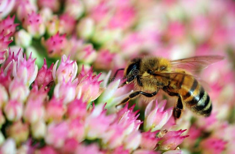 Пчела на sedum стоковая фотография rf