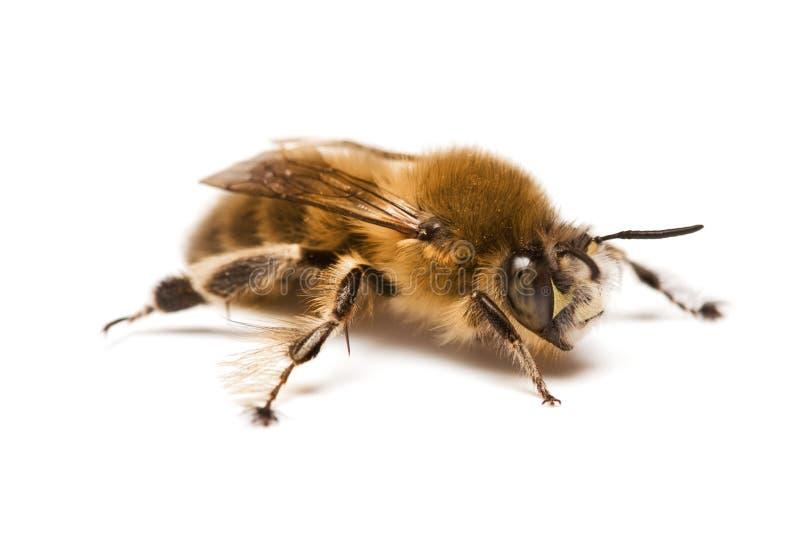 пчела одичалая стоковое изображение rf