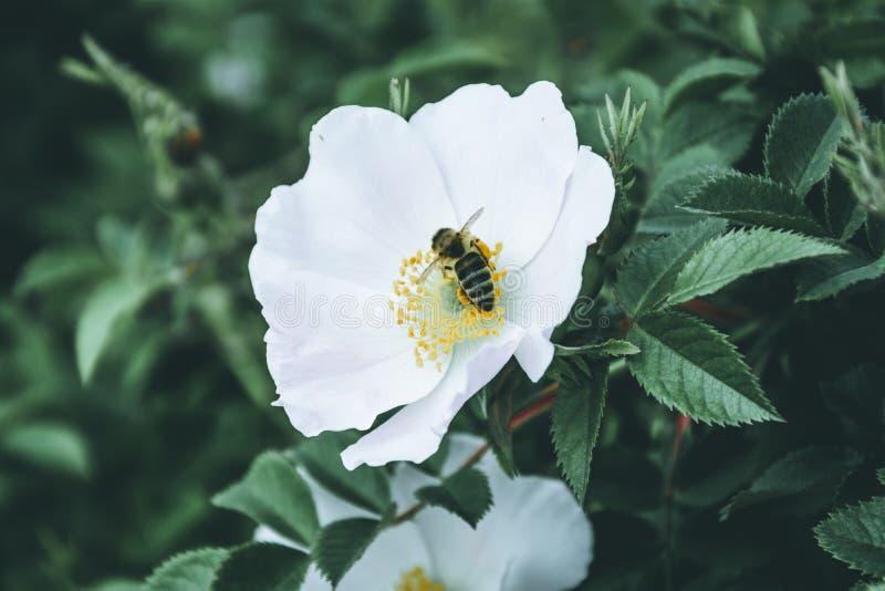 Пчела опыляет белый цветок бедер стоковое изображение rf