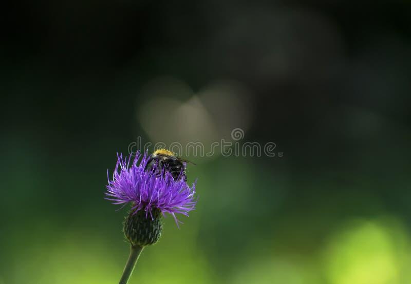 Пчела опыляет цветок, beporozza méhecske ¡ virà получило стоковое фото rf
