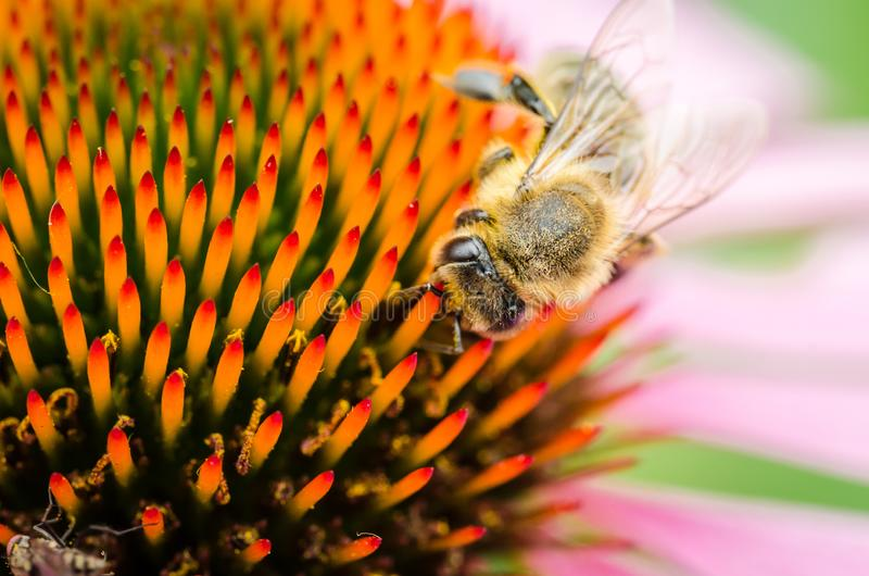 пчела опыляет эхинацею purpurea /bee опыляет красочный цветок, конец лета вверх стоковые фото