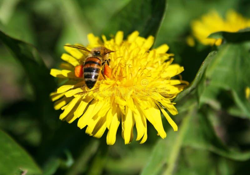 Пчела опыляя желтый цветок стоковое фото rf