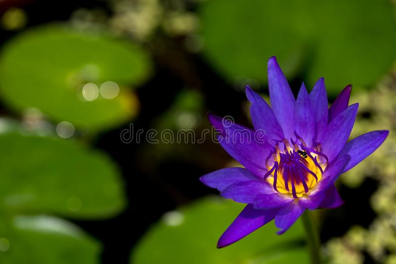 Пчела опыляя фиолетовый цветок лотоса стоковые фотографии rf