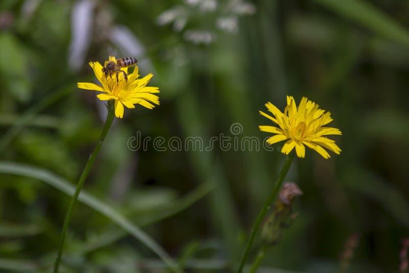 Пчела питаясь на цветке одуванчика стоковое фото rf