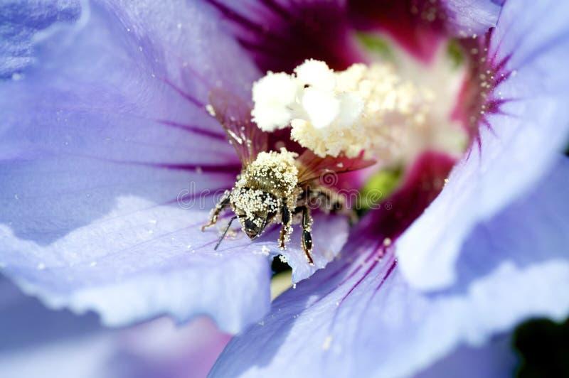 Пчела после pollenizing стоковая фотография rf