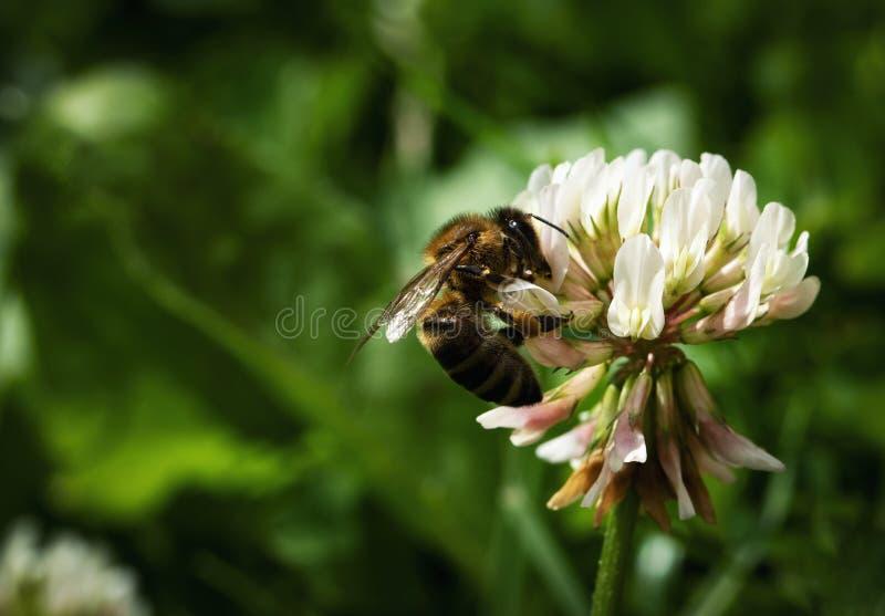 Пчела предпосылки природы на белом клевере стоковые фотографии rf