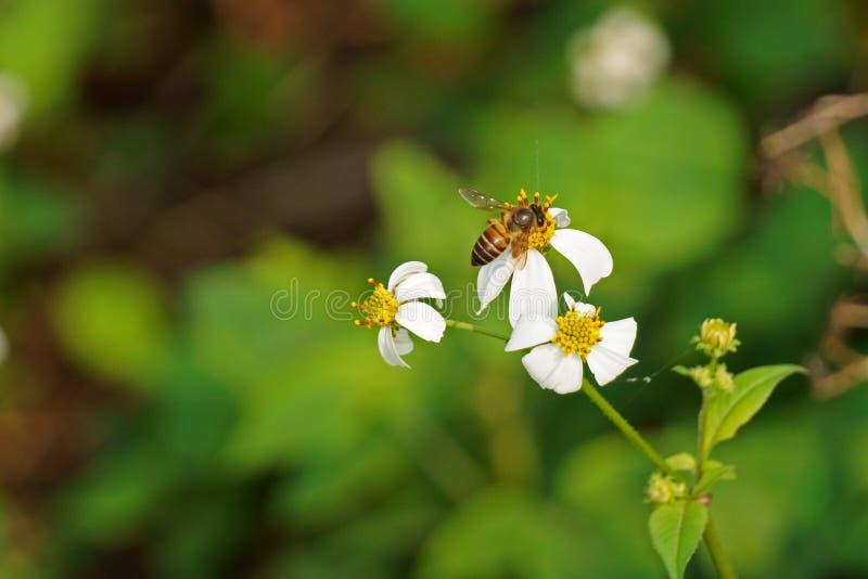 Пчела принимает нектар от цветка pilosa bidens в поле стоковая фотография rf