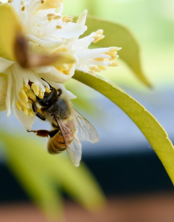 Пчела просыпается в предыдущей весне стоковая фотография rf
