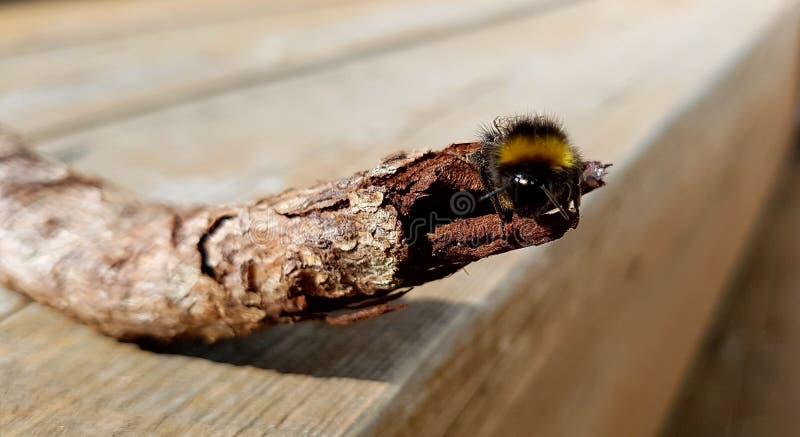 пчела путает стоковое изображение rf