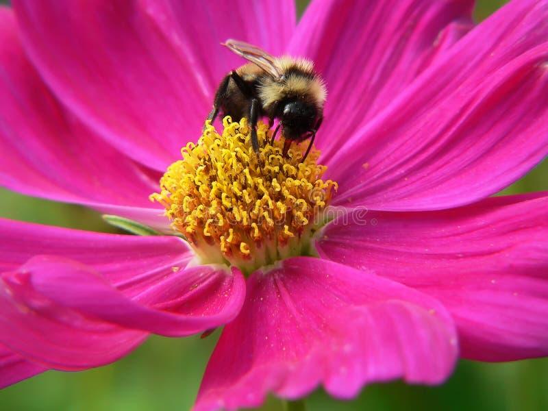 пчела путает стоковая фотография
