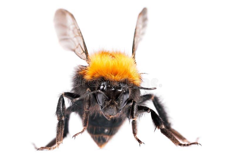 пчела путает стоковое фото rf