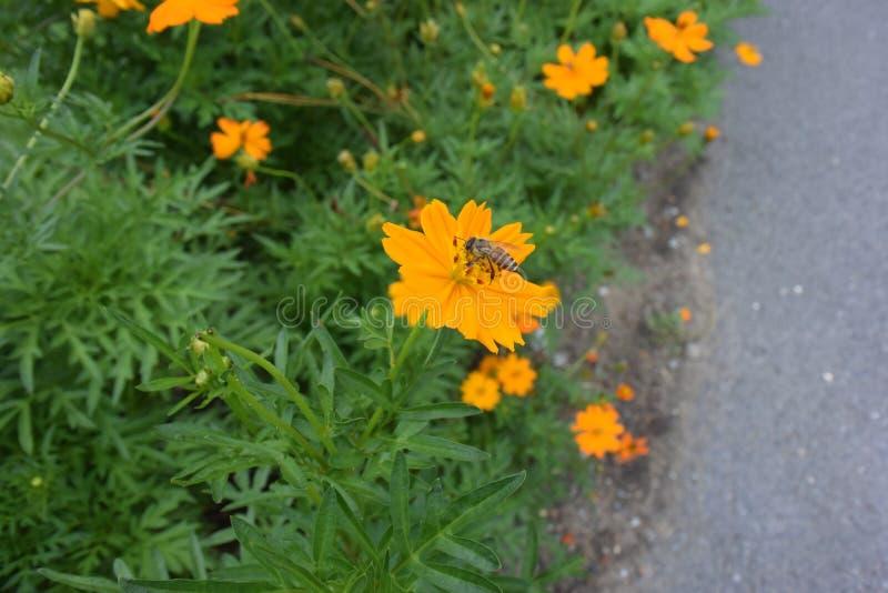 Пчела пчелы смотря цветень стоковая фотография rf