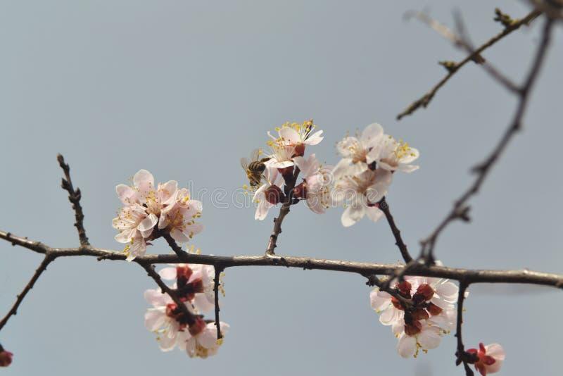Пчела сидит на цветке абрикоса стоковая фотография rf