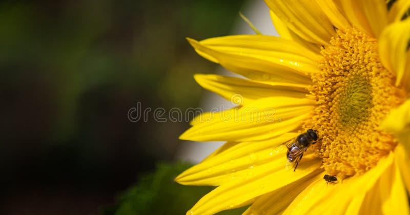 Пчела сидя на цветке желтого цвета солнцецвета стоковые изображения rf