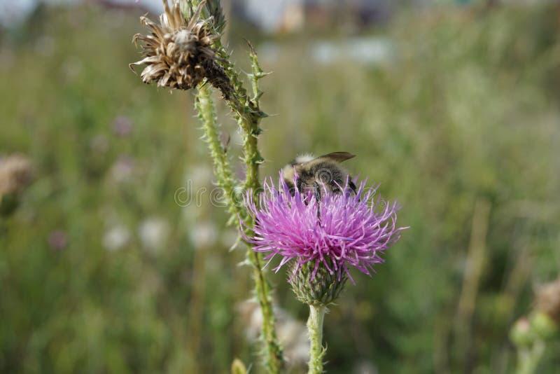 Пчела собирает мед от thistle стоковые фото