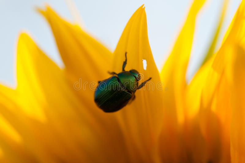 Пчела собирает нектар от хранят солнцецвета в, который стоковые изображения rf