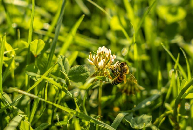 Пчела собирает нектар от цветка белого клевера на предпосылке зеленой травы стоковая фотография