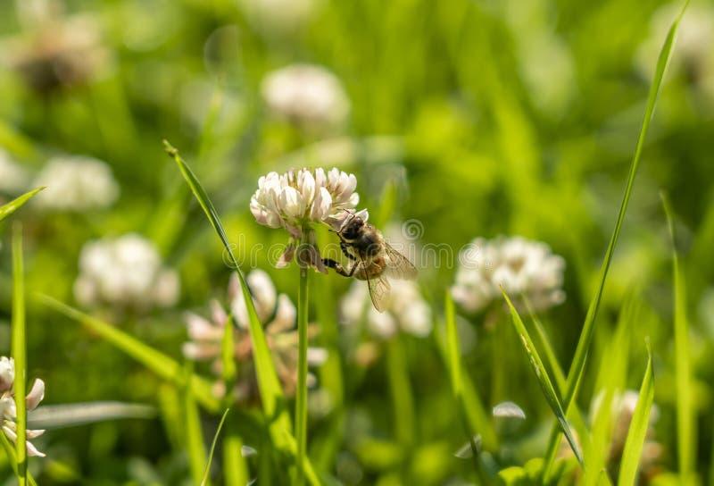 Пчела собирает нектар от цветка белого клевера на предпосылке зеленой травы стоковые изображения