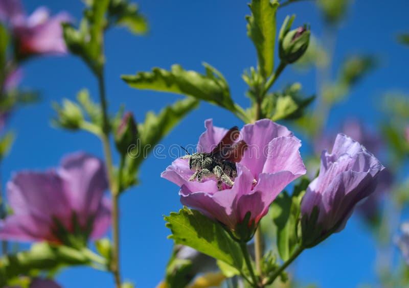 Пчела собирает пыльцу в цветах стоковое изображение