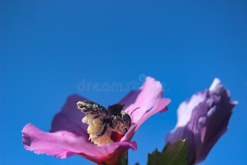Пчела собирает пыльцу в цветах стоковое изображение rf