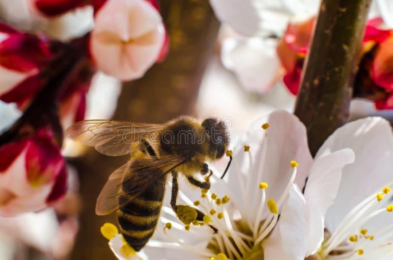 Пчела собирает цветень на одичалом конце-вверх цветка абрикоса стоковая фотография