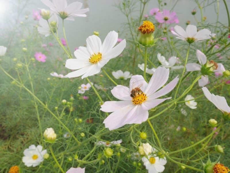 Пчела собирая нектар от белого цветка космоса с желтым цветнем в полях цветка космоса стоковая фотография rf